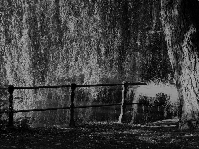Treurwilg in een park