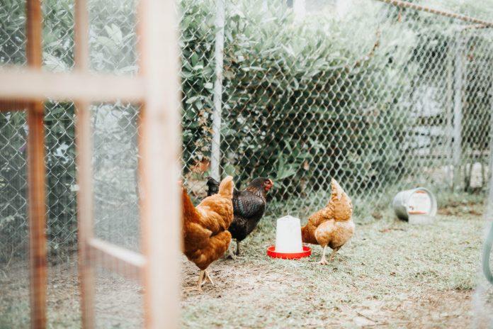 kippenren